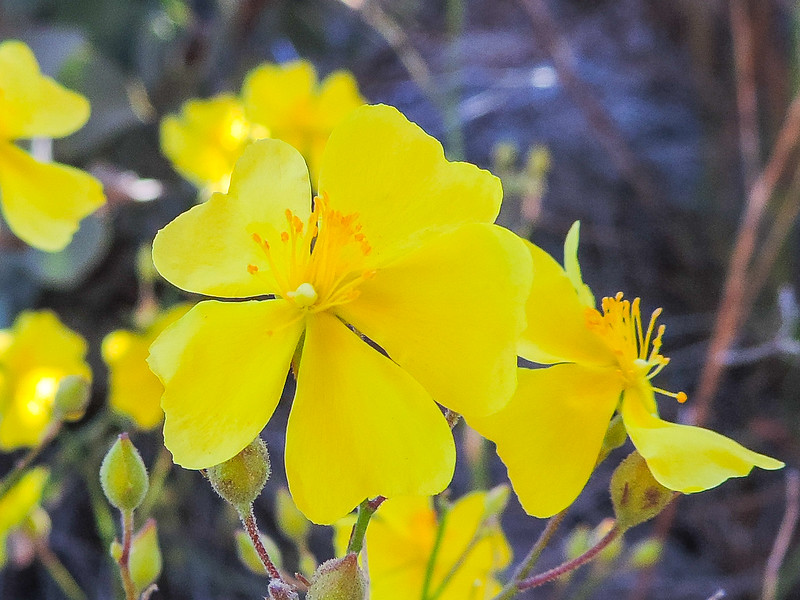 Rush-rose  (Helianthemum scoparium) CISTACEAE