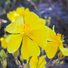 Rush-rose  (Helianthemum scoparium) CISTACEAE