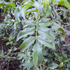 Blue Elderberry (Sambucus nigra ssp. caerulea) ADOXACEAE