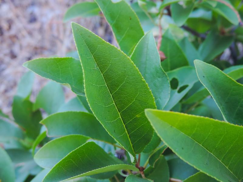 Western Choke Cherry  (Prunus virginiana) ROSACEAE