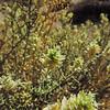 Sandpaper Plant  (Petalonyx thurberi) LOASACEAE