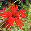 Indian Pink  (Silene laciniata) CARYOPHYLLACEAE