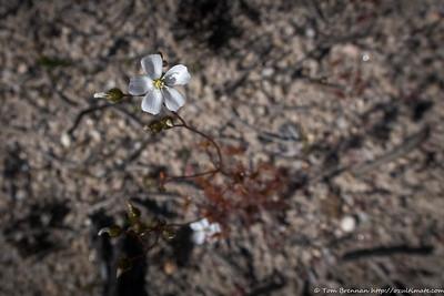 Drosera peltata (Sundew)