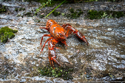 Yabby (or more correctly, spiny crayfish, probably Euastacus spinifer