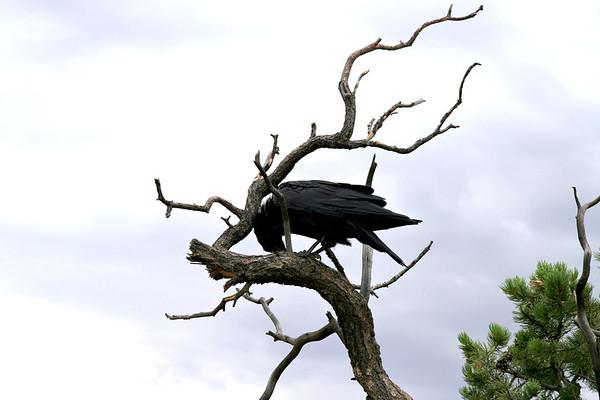 Raven-003