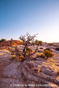 Dead Tree - Canyonlands