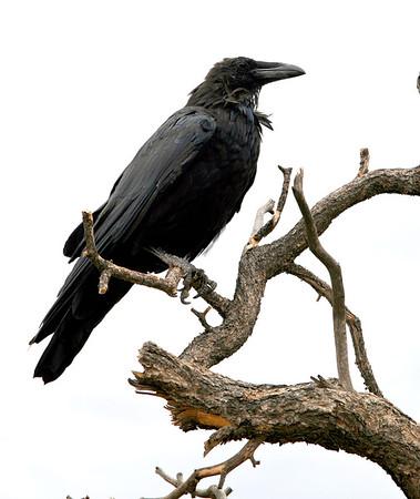 Raven-006
