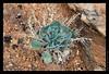 SW11_8178 Desert Plant