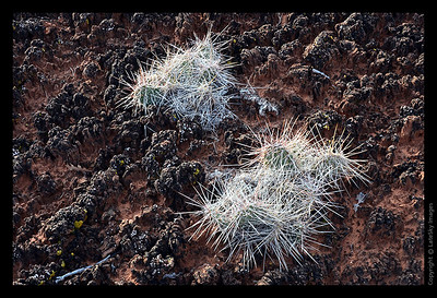 SW11_8463 Cactus and Bacterial Soil