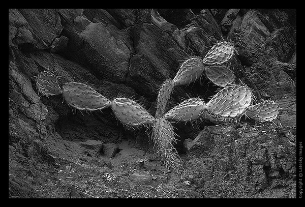 G12 Prickly Pear (grayscale)