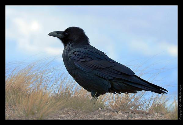 SW11_8002 Raven