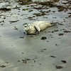 seal - Gray Beach 7 21 7-30
