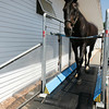 """Roxett VII, """"Rocket"""" a 23-year-old German Holsteiner, gets some exercise on a treadmill at Silver Oak Equestrian Center at  Hampton Falls, N.H. <br /> Amy Sweeney/Staff photo"""