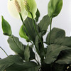 ALLEGRA BOVERMAN/Cape Ann Magazine Peace lily, a great plant for an office. At Wolf Hill Garden Center, Gloucester. $9.98