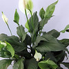 ALLEGRA BOVERMAN/Cape Ann Magazine Peace lily, a great plant for an office. At Wolf Hill Garden Center. $9.98