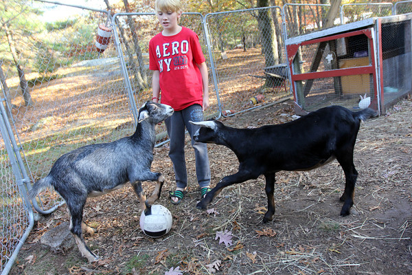 Allegra Boverman/Cape Ann Magazine. Austin Monell, 12, of Gloucester, has been teaching his two Nubian goats, brothers Ringo right, and Leo, to play soccer.