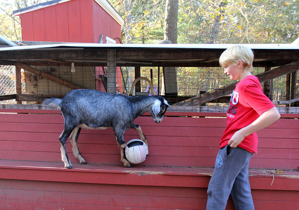 Allegra Boverman/Cape Ann Magazine. Austin Monell, 12, of Gloucester, plays soccer with his Nubian goat Leo.