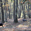 Allegra Boverman/Cape Ann Magazine. Ringo, left, and Leo, Nubian goats who are learning to play soccer at the Monell home in Gloucester. They enjoy foraging in their woods.