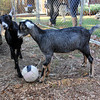 Allegra Boverman/Cape Ann Magazine. Austin Monell, 12, of Gloucester, has been teaching his two Nubian goats, brothers Ringo, left, and Leo, to play soccer.