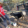 Allegra Boverman/Cape Ann Magazine. Austin Monell, 12, of Gloucester, has been teaching his two Nubian goats, Ringo, shown, and Leo, to play soccer.