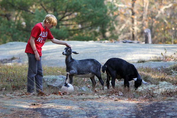 Allegra Boverman/Cape Ann Magazine. Austin Monell, 12, of Gloucester, has been teaching his two Nubian goats, Leo, center, and Ringo, to play soccer.