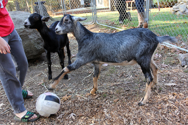 Allegra Boverman/Cape Ann Magazine. Austin Monell, 12, of Gloucester, has been teaching his two Nubian goats, brothers Ringo, center, and Leo, to play soccer.
