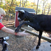 Allegra Boverman/Cape Ann Magazine. Austin Monell, 12, of Gloucester, taught his goat Ringo, right, to shake hands. His other goat, Leo, is below.