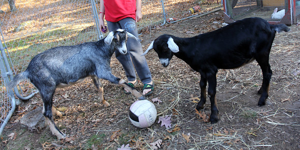 Allegra Boverman/Cape Ann Magazine. Austin Monell, 12, of Gloucester, has been teaching his two Nubian goats, brothers Ringo, right, and Leo, to play soccer.