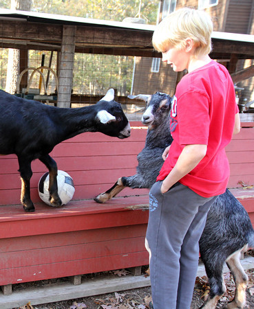 Allegra Boverman/Cape Ann Magazine. Austin Monell, 12, of Gloucester, has been teaching his two Nubian goats, brothers Ringo,left, and Leo, to play soccer.