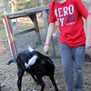 Allegra Boverman/Cape Ann Magazine. Austin Monell, 12, of Gloucester, has been teaching his two Nubian goats, Ringo, shown, and his brother Leo, to play soccer.