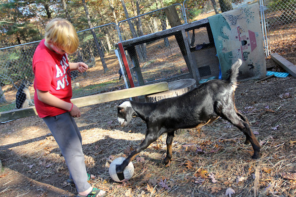 Allegra Boverman/Cape Ann Magazine. Austin Monell, 12, of Gloucester, has been teaching his two Nubian goats,Ringo, shown and his brother Leo, to play soccer.