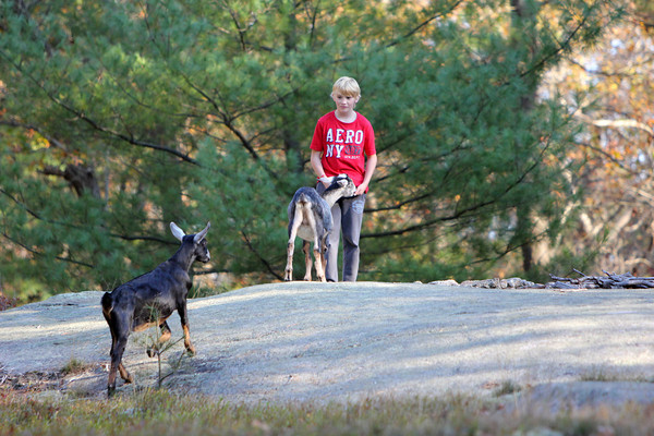 Allegra Boverman/Cape Ann Magazine. Austin Monell, 12, of Gloucester with his two Nubian goats, brothers Leo, right, and Ringo.