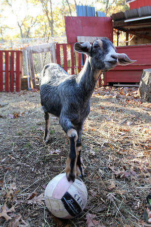 Allegra Boverman/Cape Ann Magazine. Austin Monell, 12, of Gloucester, has been teaching his two Nubian goats, Leo, shown, and Ringo, to play soccer.