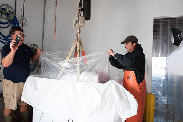 """xxxx of Compass Seafood and Capt. Dave Carraro pack a bluefin that Carraro's boat landed at as a """"Wicked Tuna"""" crew films. Photo by Desi Smith."""