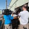 "A ""Wicked Tuna"" camera crew films as a Compass Seafood employee, right, center, grades a bluefin tuna caught by Capt. Dave Carraro. Quickly shipped to Japan, a top-grade tuna can fetch $20,000 to $30,000. Photo by Desi Smith."