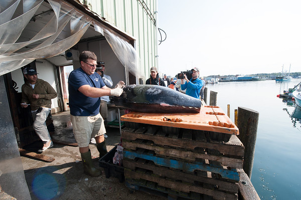 "A Compass Seafood employee takes a core of flesh from behind the gills a bluefin tuna landed by the Gloucester-based FV-Tuna.com as camera crew from ""Wicked Tuna"" films. The core will be used to determine how fatty the fish is; the fatter the more prized in the sushi market in Japan. Photo by Desi Smith."