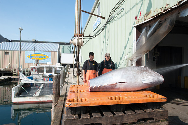 Deckhand Sandro Manciaci, left, and Capt. Dave Carraro of the FV-Tuna.com watch as a bluefin they landed is hosed off after being cleaned. A top-grade tuna weighing more than 300 pounds will be quickly shipped to Japan were it could fetch $20,000 to $30,000. Photo by Desi Smith.. Photo by Desi Smith.