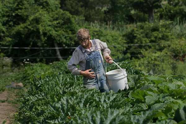 MIKE SPRINGER/Staff photo<br /> Noah Kellerman harvests summer squash at Alprilla Farm in Essex.