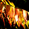 Jim Vaiknoras/Cape Ann Magazine.Sumac leaves turned shades of yellow and red