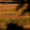 Jim Vaiknoras/Cape Ann magazine.<br /> An egret hunts in the salt marsh on Cox Reservation. The birds usually migrate south duringas October ends.