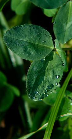 Jim Vaiknoras/Cape Ann Magazine.Morning dew on clover
