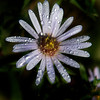 Jim Vaiknoras/Cape Ann Magazine. A purple aster, covered in dew, invites bees to bees to visit the new bee garden.
