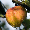 Jim Vaiknoras/Cape Ann magazine. Morning dew drips from an apple. Baldwin, Northern Spy, and Hyslop are among the varieties growing at the Cox Reservation in Essex.