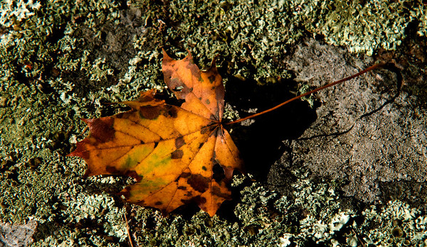 Jim Vaiknoras/Cape Ann Magazine.A maple leaf sit upon a moss covered wall at the Cox Reservation in Essex.