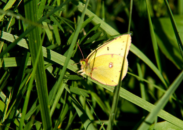 Jim Vaiknoras/Cape Ann Magazine.A clouded sulfur butterfly rests in the grass.