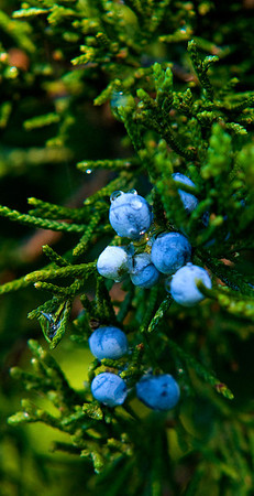 Jim Vaiknoras/Cape Ann Magazine.Juniper berries shine in the morning light.