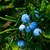 Jim Vaiknoras/Cape Ann Magazine.Juniper berries shine in the morning light.