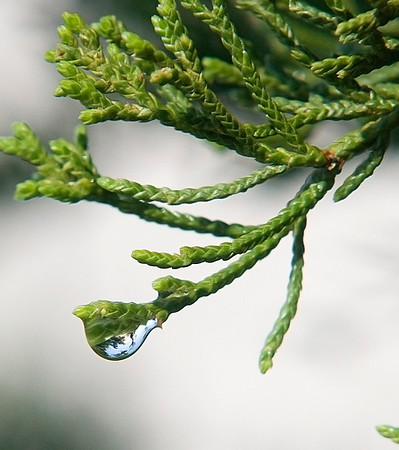 Jim Vaiknoras/Cape Ann Magazine.A droplet of dew hangs off a juniper branch.