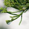 Jim Vaiknoras/Cape Ann Magazine.A droplet of dew hangs off a juniper branch.