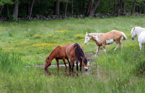 Rockport:  The horses at Seaview Farm frolic in one of the upper fields. During the summer months the horses are put out to pasture. Staff photo/Mary Muckenhoupt.
